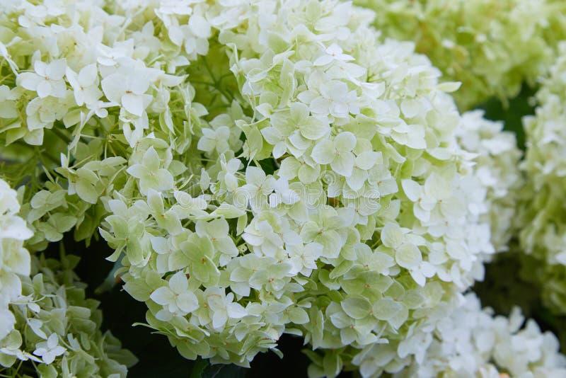 Weiße Hortensie arborescens Annabelle, nachdem dem Blühen, grüne Samen lizenzfreies stockfoto