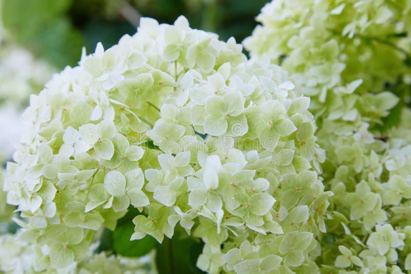 Weiße Hortensie arborescens Annabelle, nachdem dem Blühen, grüne Samen stockfoto