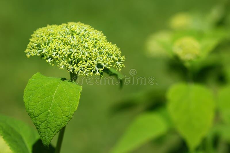 Weiße Hortensie arborescens, bekannt als glatte Hortensie, wilde Hortensie oder sevenbark ist im Begriff zu blühen stockfotografie