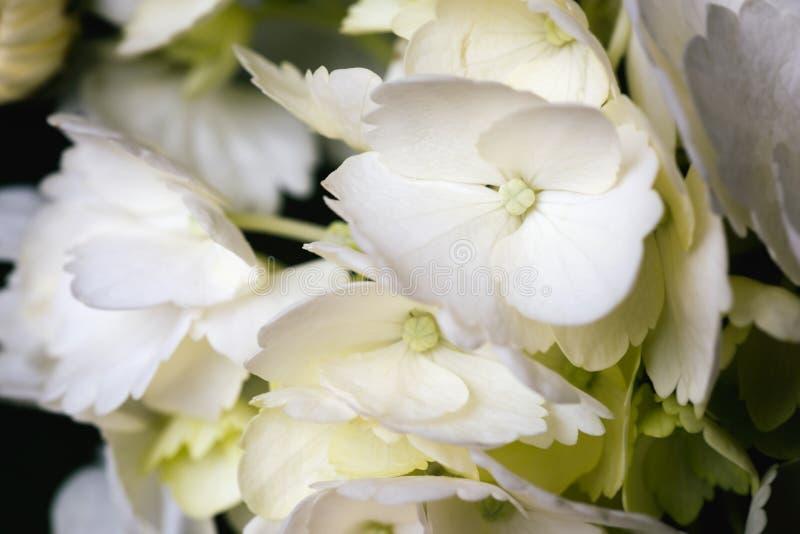 Weiße Hortensie-Blumen-Blüte und Blumenblatt-Nahaufnahme Ein artsy Foto, das weiblich träumerisch ist, weich und lizenzfreie stockbilder