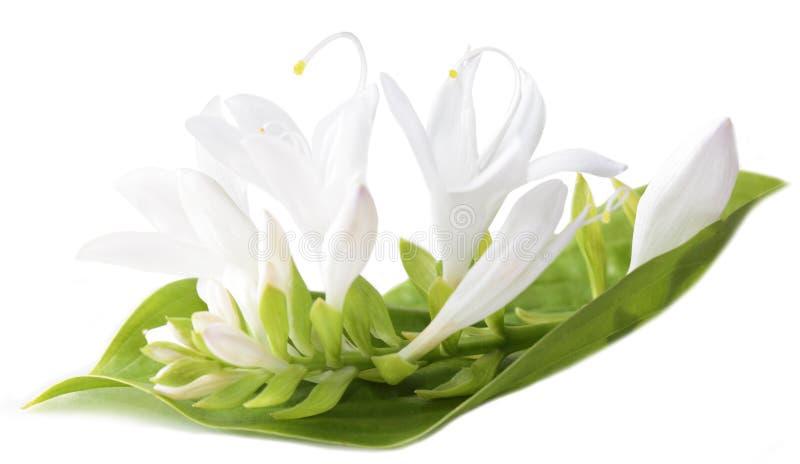 Weiße Hosta-Blume stockbild. Bild von weiß, getrennt - 10884713