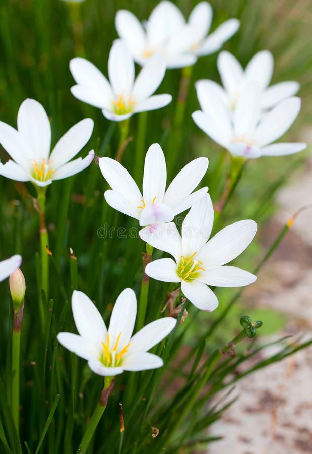 Weiße Hosta-Blumen stockbild. Bild von kopf, weiß, blumenblatt ...