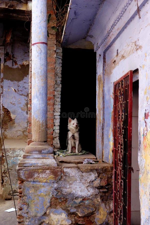 Weiße Hundestraßen von Varanasi Indien stockfotos
