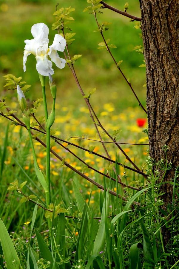 Weiße Iris sibirica Blume lizenzfreie stockbilder