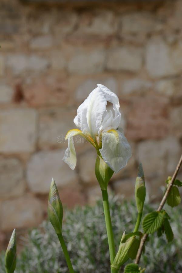 Weiße Iris vor der Natursteinwand stockbilder
