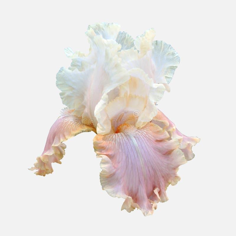 Weiße Irisblume lokalisiert auf grauem Hintergrund lizenzfreies stockbild