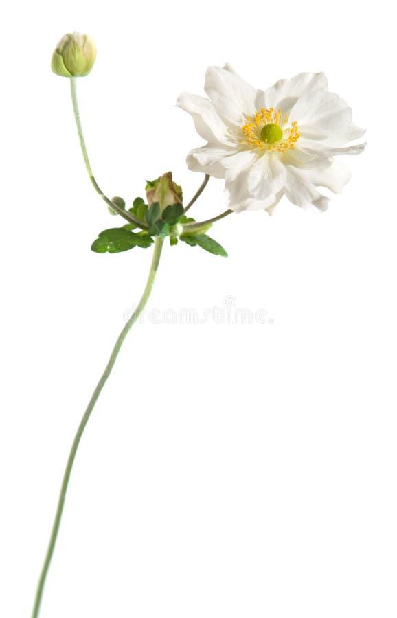 Weiße japanische Anemone lizenzfreie stockbilder