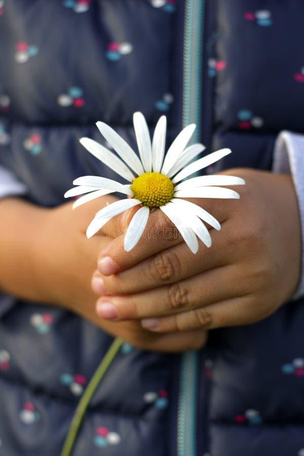Weiße Kamille in den Kinderhänden stockbild