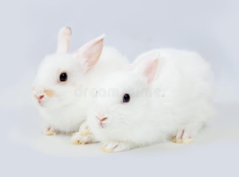 Weiße Kaninchen auf Grau stockfotos