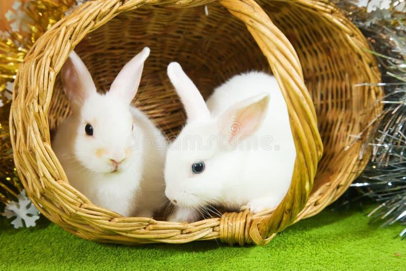 Weiße Kaninchen im baske stockfotografie