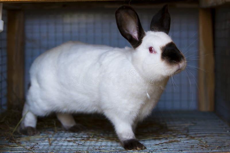 Weiße Kaninchenfleischzucht lizenzfreie stockbilder