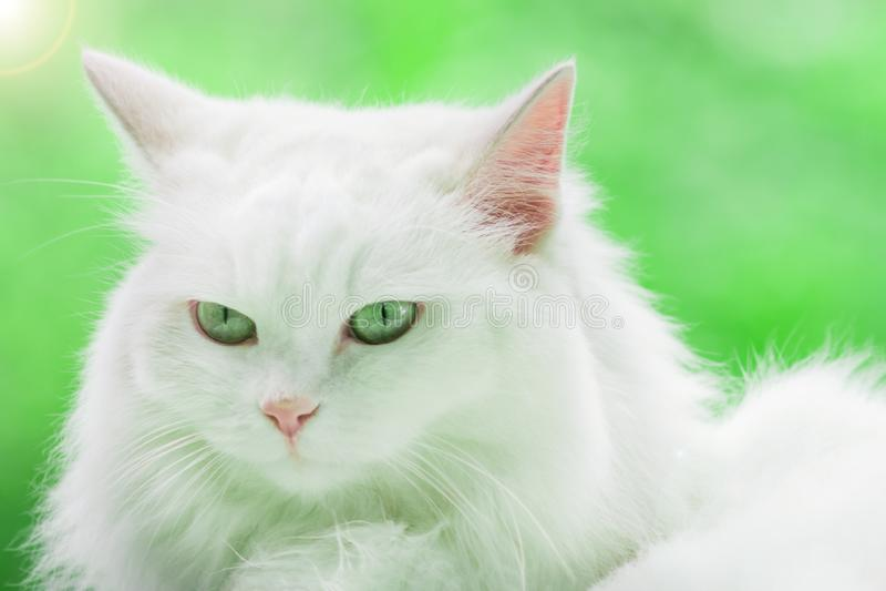 Weiße Katze auf grünem Hintergrund lizenzfreie stockfotos