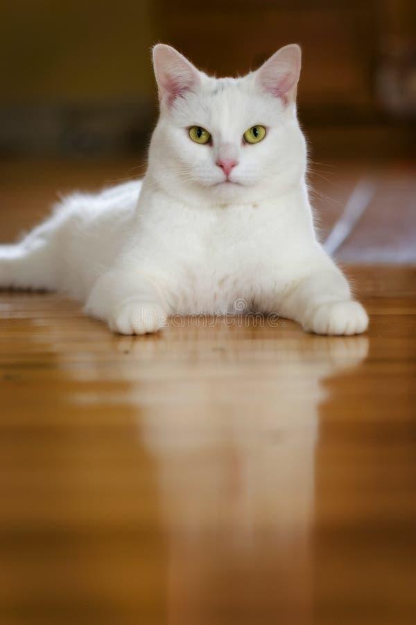 Weiße Katze auf Hartholz stockbild