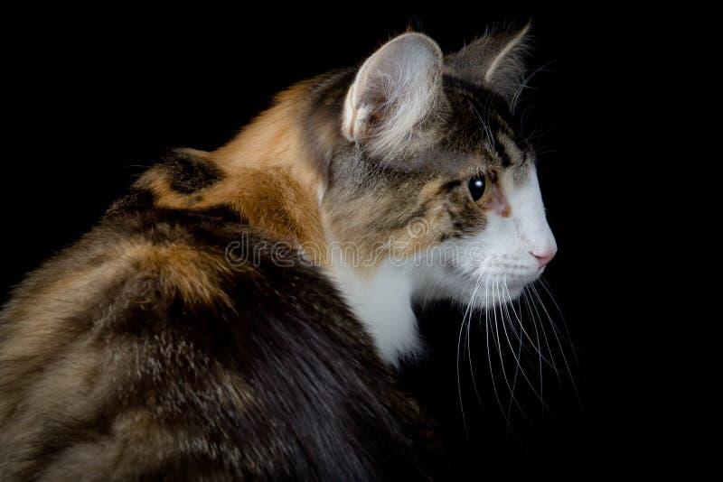 Weiße Katze Browns, die eine Seite schaut lizenzfreies stockfoto