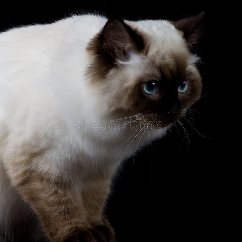 Weiße Katze Browns mit den blauen Augen, die eine Seite schauen lizenzfreie stockfotos