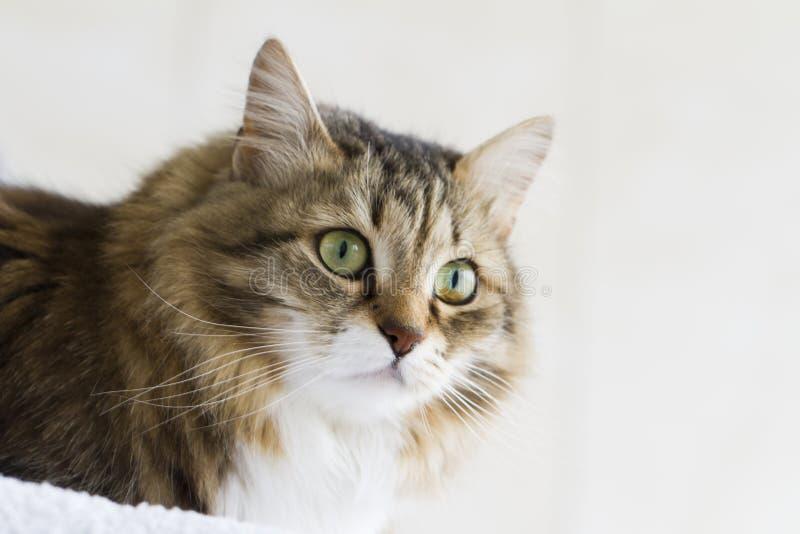 Weiße Katze Browns sibirischen Zucht outdorr lizenzfreie stockbilder