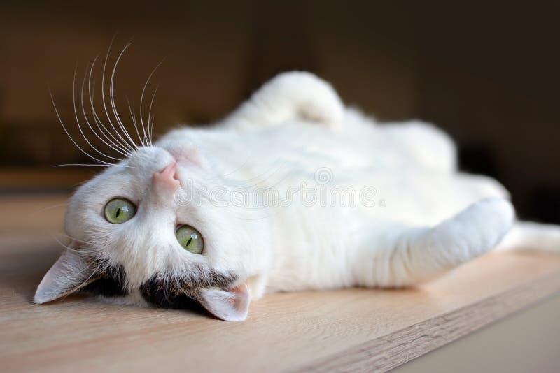Weiße Katze der getigerten Katze mit grünen Augen und rosa dem Nasenlügen umgedreht auf Rückseite auf Bretterboden lizenzfreies stockfoto