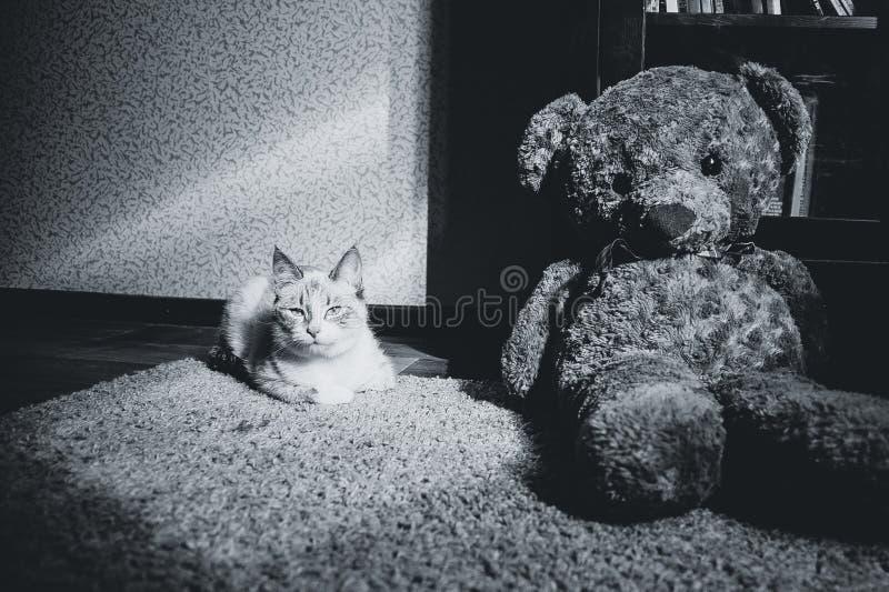 Weiße Katze, die auf einem Teppich im Quadrat des Lichtes mit Teddybären und des Bücherschranks betrachtet Sie, Schwarzweiss lieg stockfoto