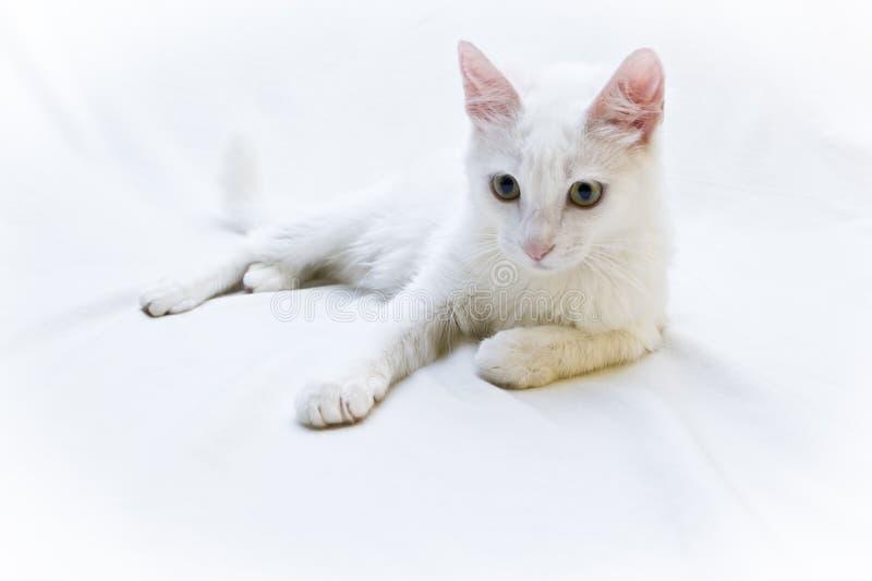 Weiße Katze, die auf weißem Hintergrund liegt lizenzfreie stockbilder