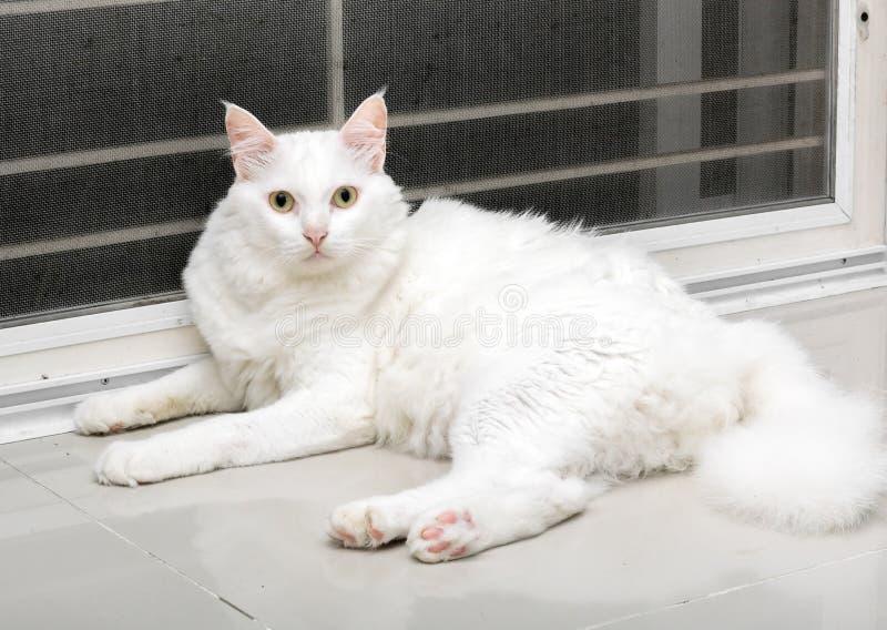 Weiße Katze schaut vorwärts lizenzfreie stockfotografie