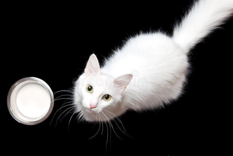 Weiße Katze u. Milch stockbilder
