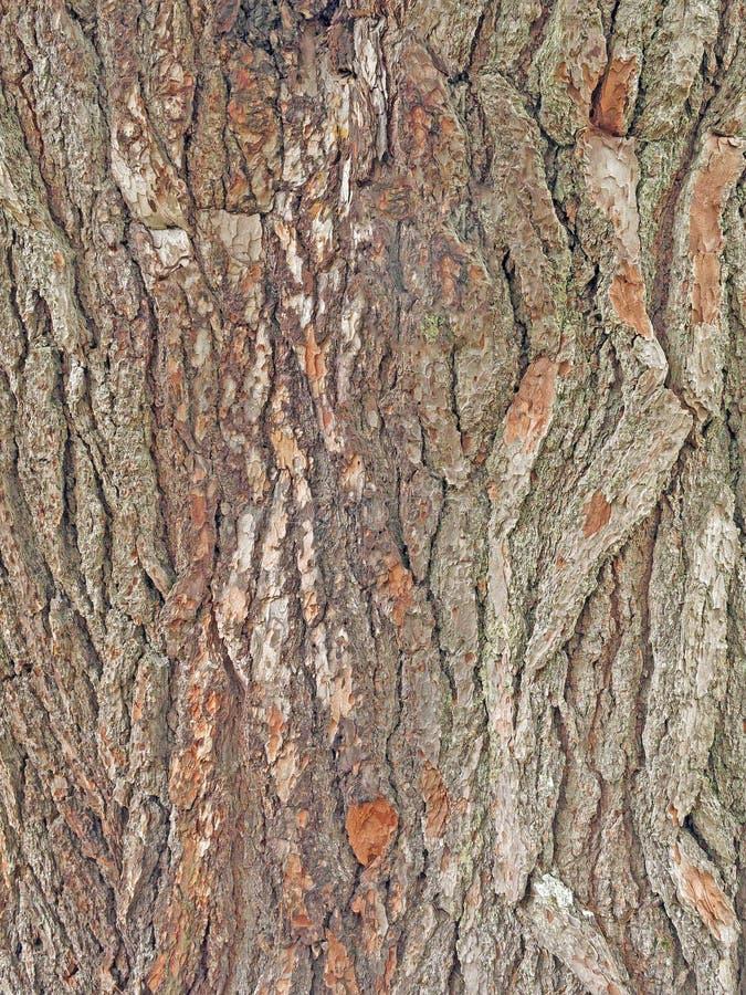 Weiße Kieferbarke, Pinus strobus lizenzfreie stockbilder