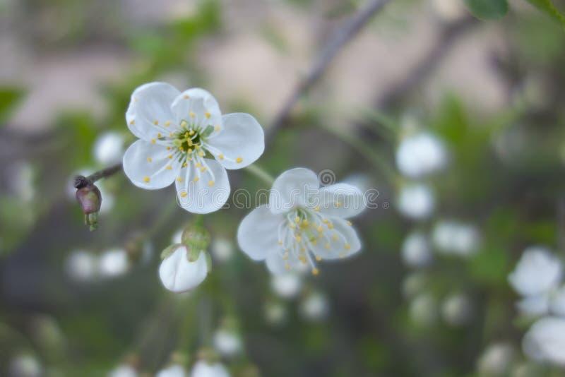 Weiße Kirschbaumblume im Frühjahr stockfotografie