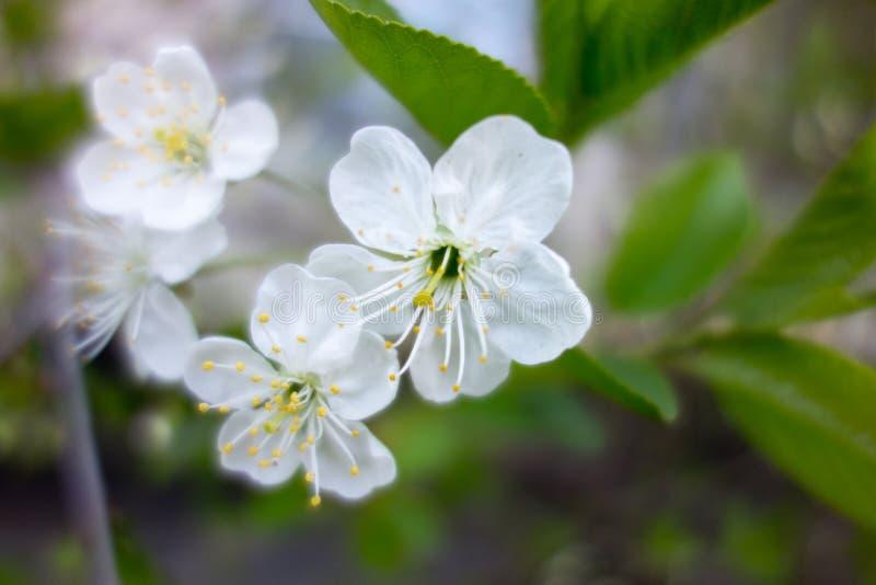 Weiße Kirschbaumblume im Frühjahr lizenzfreie stockfotografie