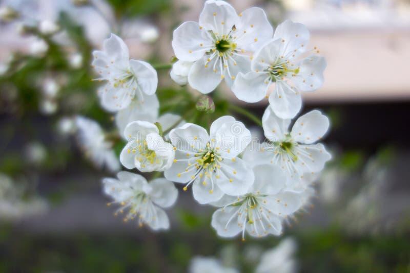 Weiße Kirschbaumblume im Frühjahr lizenzfreies stockbild