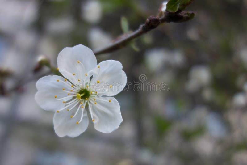 Weiße Kirschbaumblume im Frühjahr lizenzfreies stockfoto