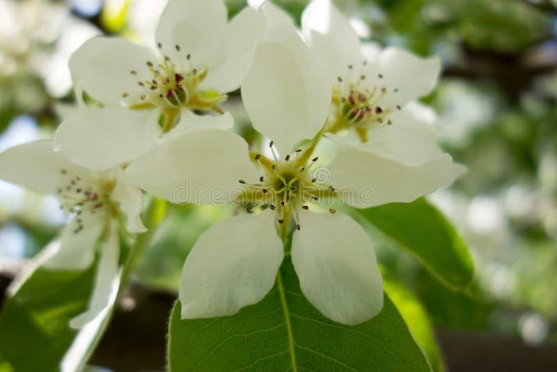 Weiße Kirschbaumblume im Frühjahr lizenzfreie stockfotos