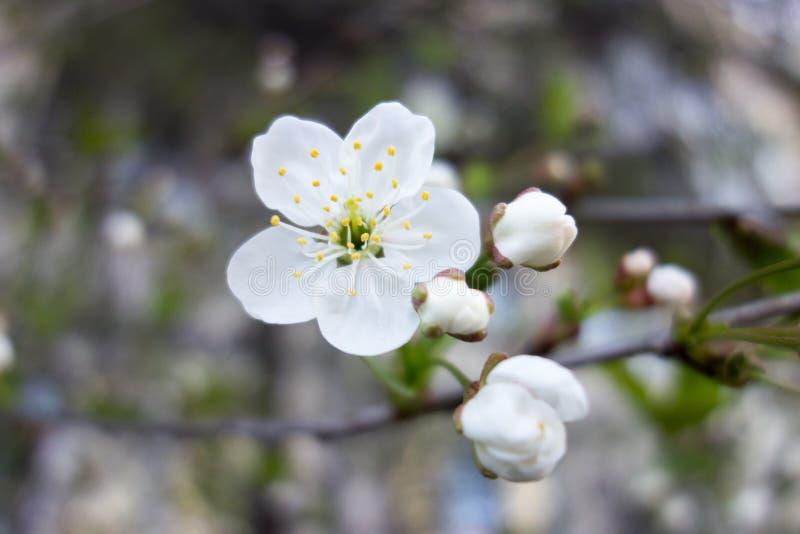 Weiße Kirschbaumblume im Frühjahr stockfoto