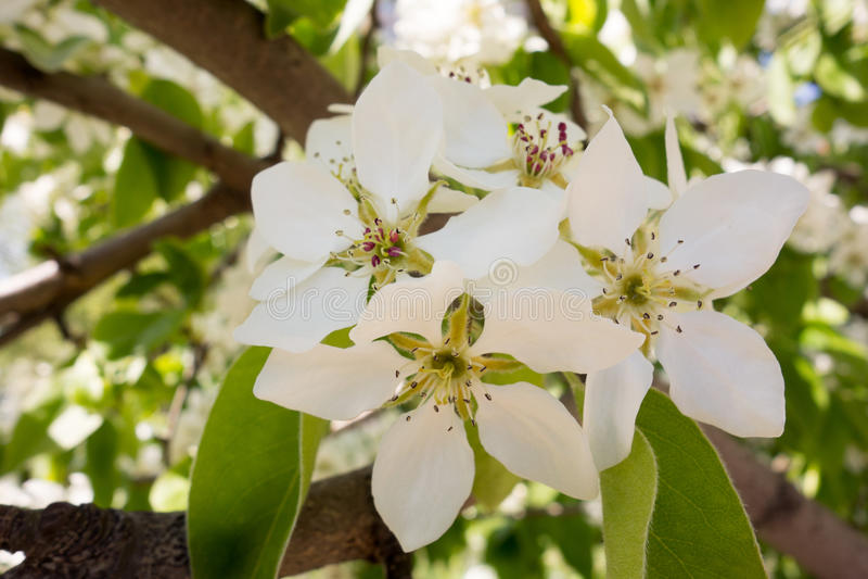 Weiße Kirschbaumblume im Frühjahr stockbild