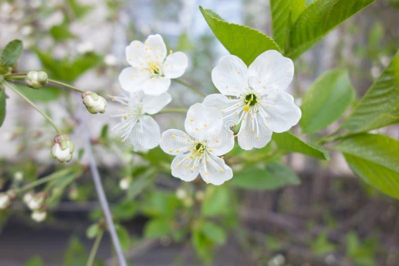 Weiße Kirschbaumblume im Frühjahr stockfotos