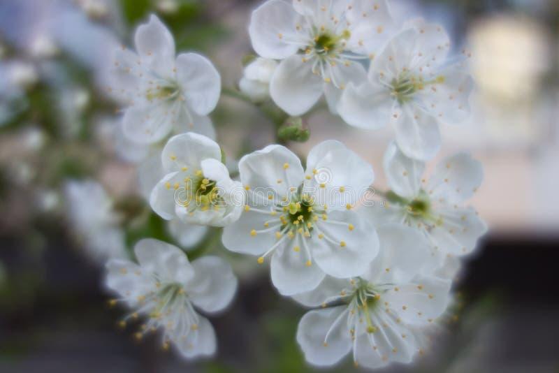 Weiße Kirschbaumblume im Frühjahr stockbilder