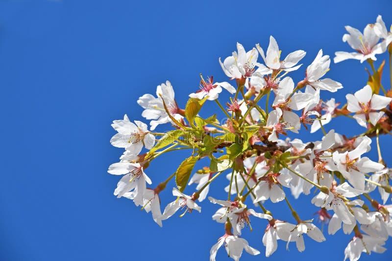 Weiße Kirschblüte über klarem Abschluss des blauen Himmels oben lizenzfreie stockfotografie