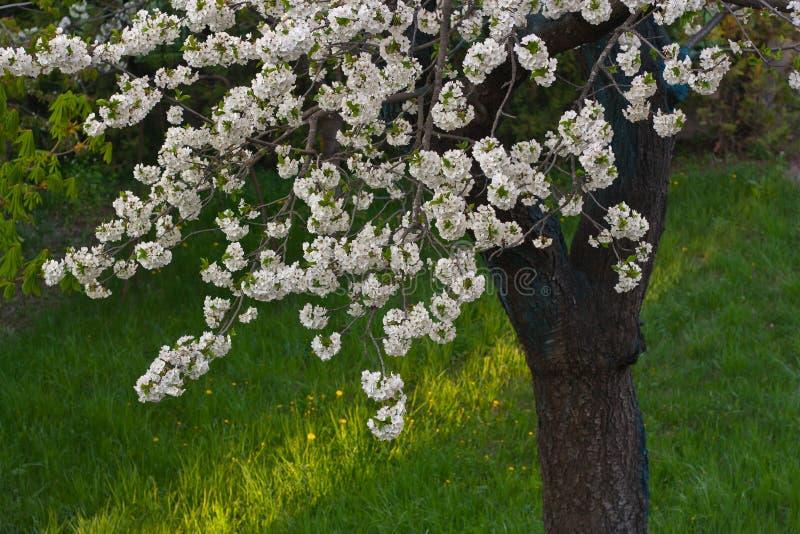 Weiße Kirschblüte stockfoto. Bild von blume, baum, kirsche - 51385902