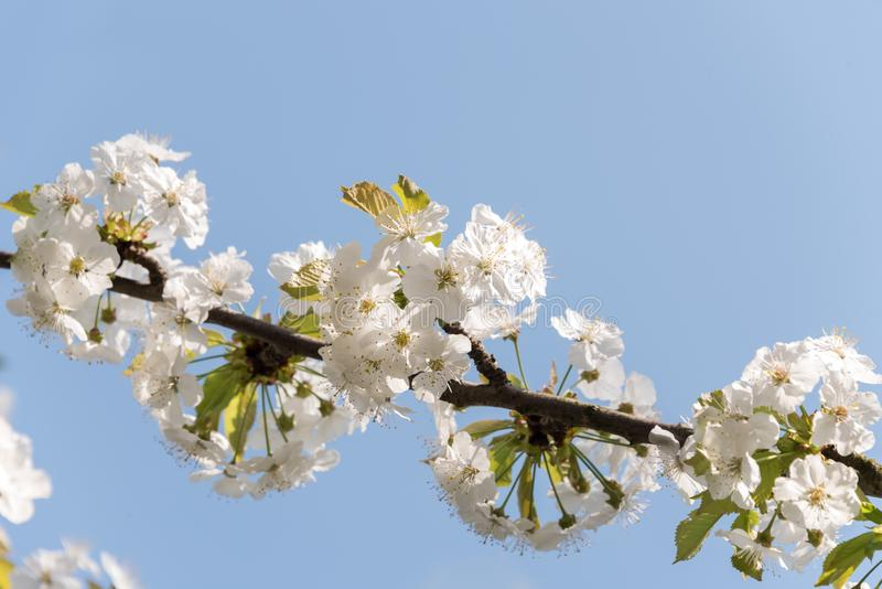 Weiße Kirschblüten auf dem Baumast - lokalisiert gegen blauen Himmel stockbild