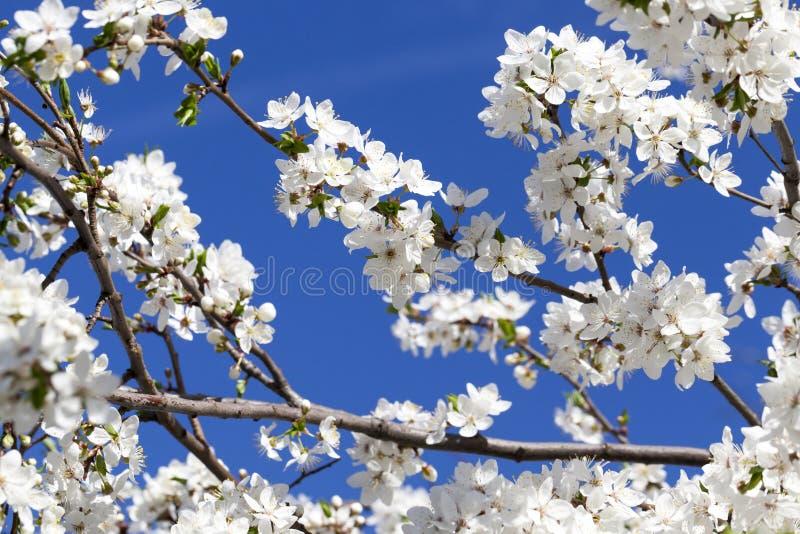 Weiße Kirschblumen stockfotografie
