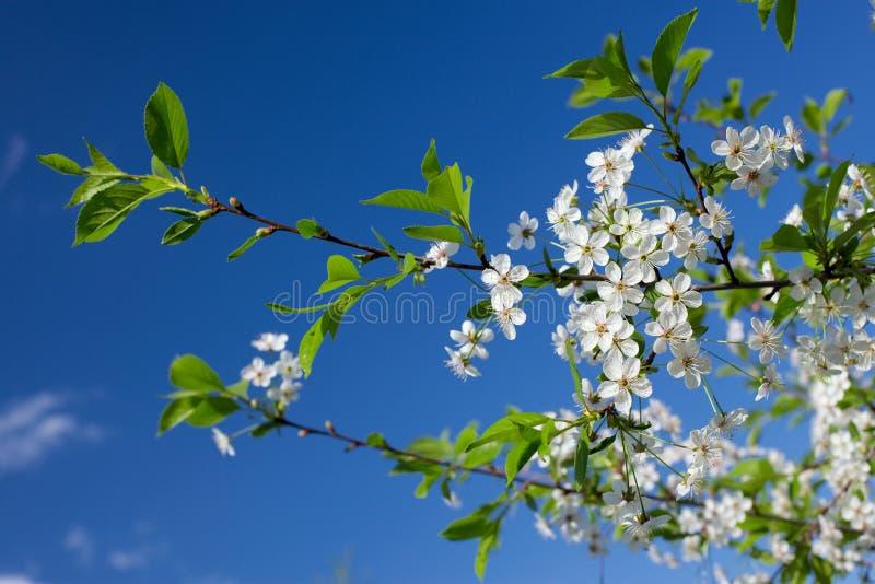 Weiße Kirschblumen lizenzfreie stockbilder