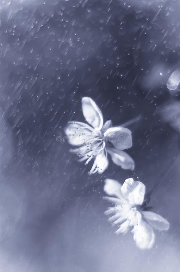 Weiße Kirschblumen auf grauem unscharfem Hintergrund mit Wassertropfen der Luft Platz f?r Text Weichzeichnung, vorgewählter Fokus lizenzfreies stockbild