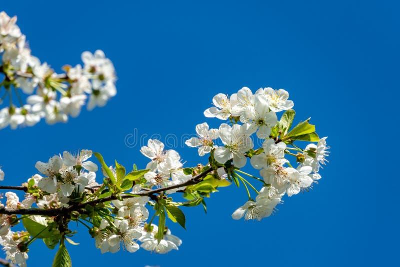 Weiße Kirschblumen blühen vor dem hintergrund des blauen Himmels stockbilder