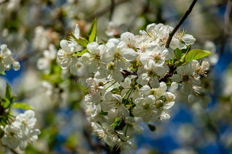 Weiße Kirschblumen blühen vor dem hintergrund des blauen Himmels Viel Garten der weißen Blumen im Frühjahr lizenzfreie stockfotografie