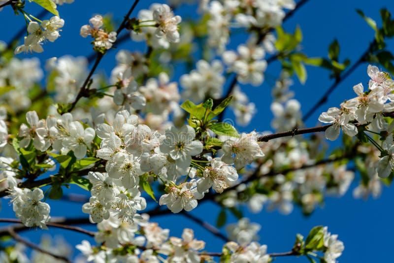 Weiße Kirschblumen blühen vor dem hintergrund des blauen Himmels Viele wei?en Blumen stockfotos