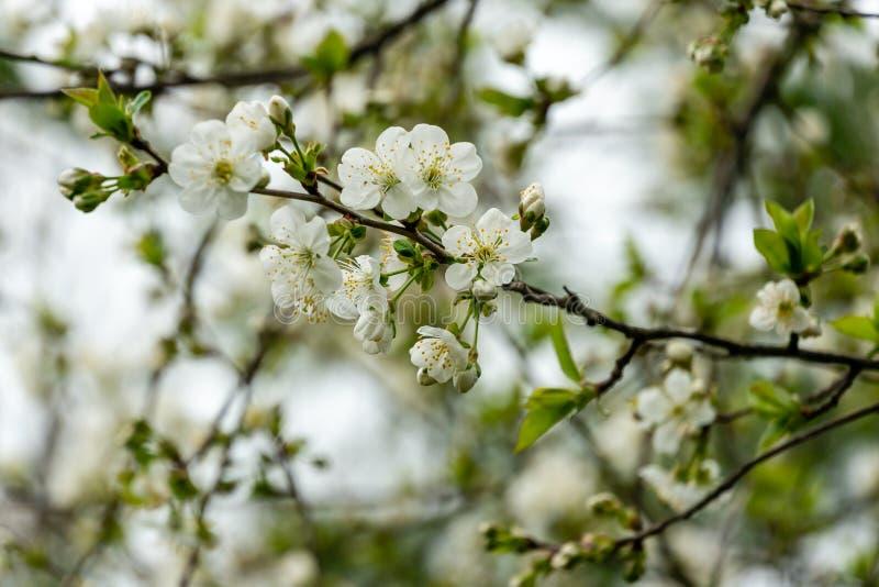 Weiße Kirschblumen blühen vor dem hintergrund des Himmels lizenzfreie stockfotografie