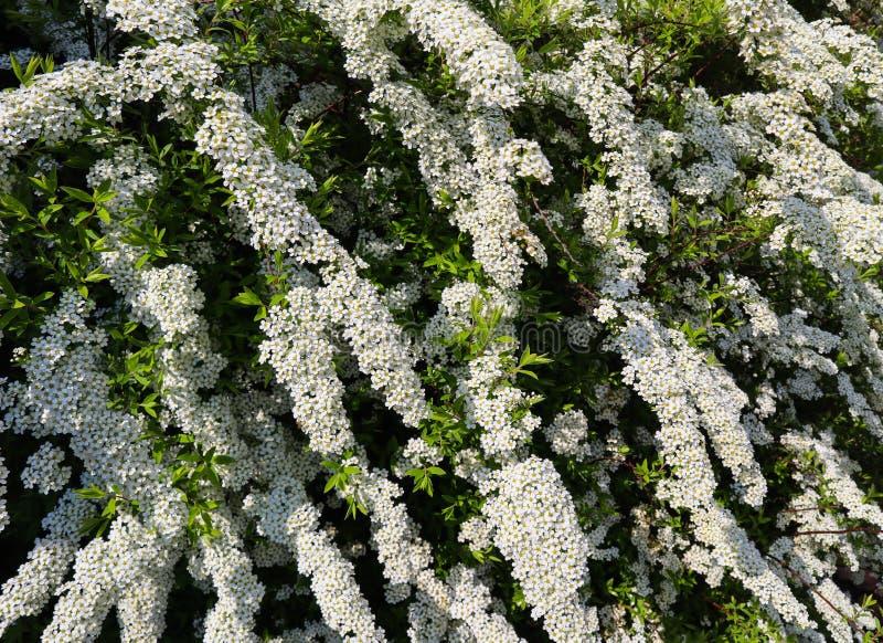 Weiße kleine Blumen von Thunberg-spirea Spiraea thunbergii Busch in der Blüte lizenzfreie stockfotografie