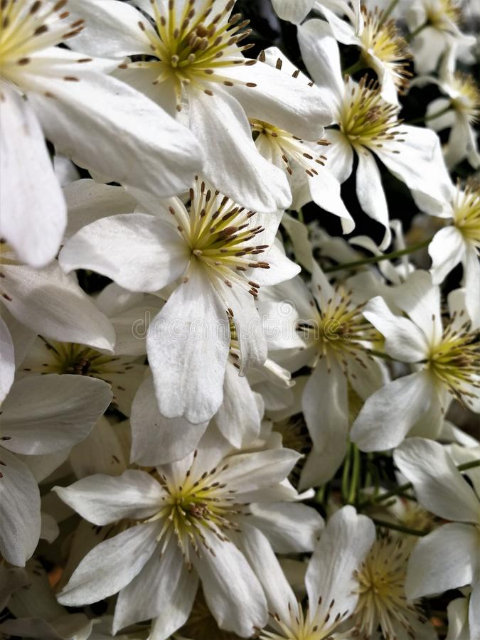 Weiße Klematisblumen, Vielzahl Lawine lizenzfreies stockfoto