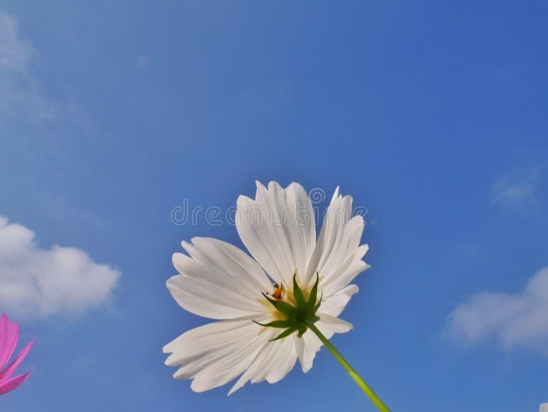 Weiße Kosmos-Blume stockbild. Bild von unter, nave, floral - 66473529
