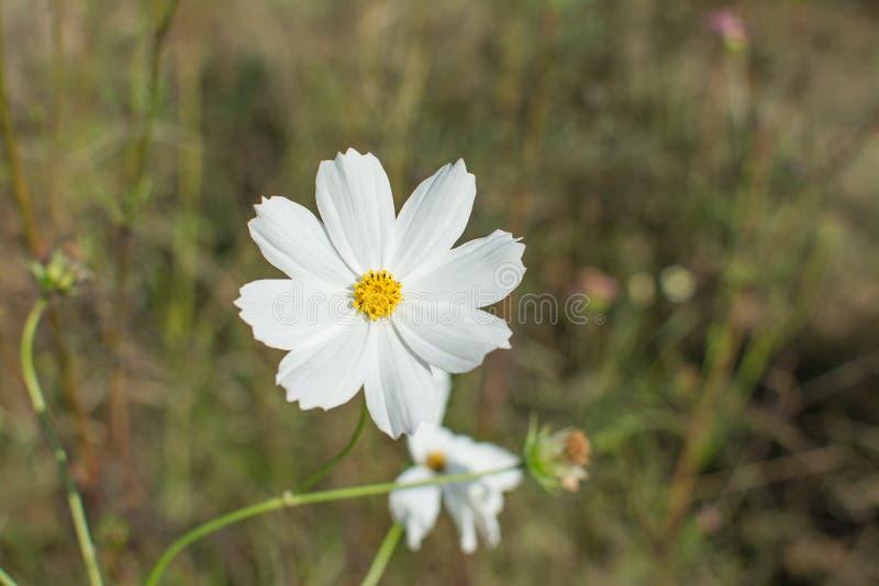 Weiße Kosmos-Blume stockfoto