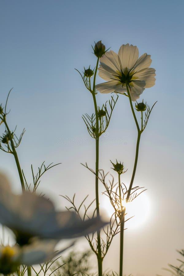 Weiße Kosmosblume Wurm ` S Von Der Augenansicht Stockfoto - Bild von ...